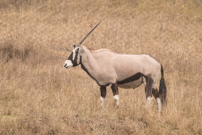 This Gemsbok appears to be missing one of its horns.  Gemsbok are also found in southern Africa.