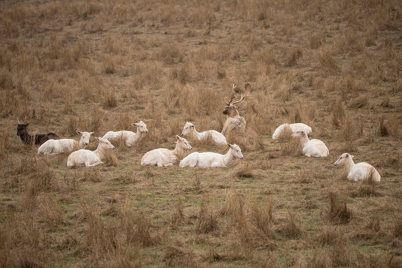 Here is a male Fallow Deer with his harem of females.  The dark deer on the far left is probably an immature male.