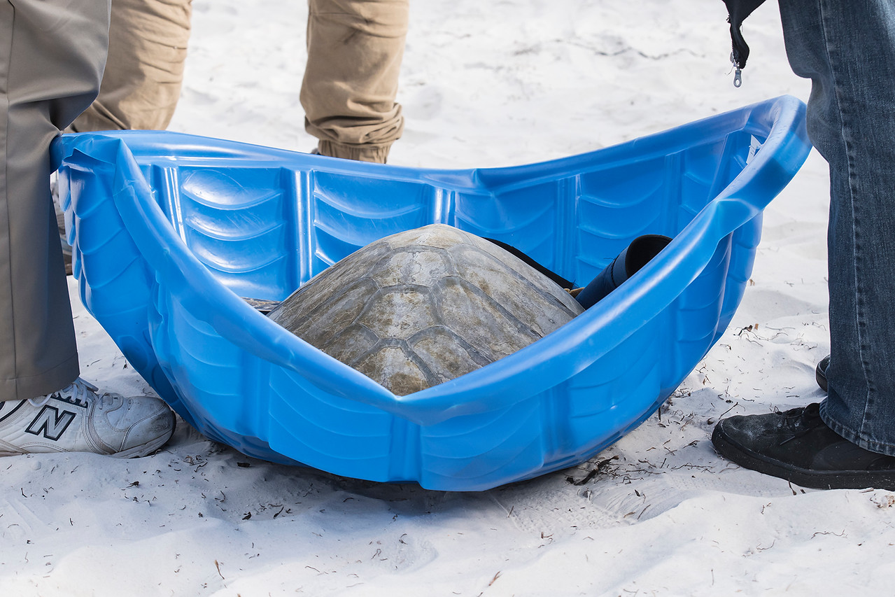 Some of the turtles were so big it took a kid's wading pool to hold them and two big, strong people to carry each one.