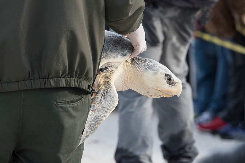 This turtle didn't look like the others and I was told it is a Kemp's Ridley turtle.  Notice the oval shape of the eye and the sharply hooked beak.