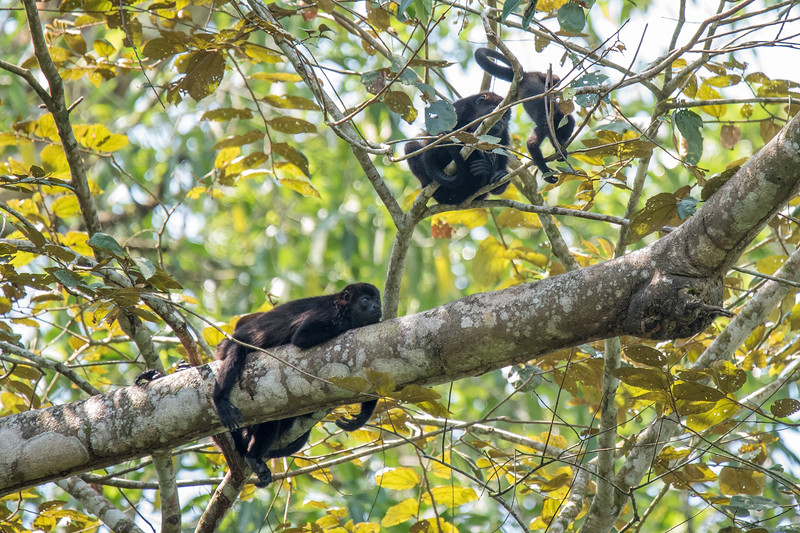 "These Howler Monkeys were lounging in a tree when we took a boat trip on the Sarapiqui River.  They are well named; their call can be heard up to three miles away.  On my first trip to Costa Rica, I recorded this hair-raising vocalization.  Here's a link to that post.  <a href=""https://www.earlorfphotos.com/Pictures-of-the-Week/2014-Pictures-of-the-Week/Nov-30-2014-Costa-Rica-Monkeys/"">https://www.earlorfphotos.com/Pictures-of-the-Week/2014-Pictures-of-the-Week/Nov-30-2014-Costa-Rica-Monkeys/</a>"