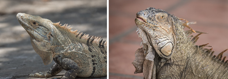 "We saw two species of Iguanas, Green and Black.  I did some research on the Internet, but I couldn't find a clear description of the differences between them.  I would be happy to hear any tips you may have for me. However, based on Internet photos, I think these two pictures show the differences.  I think the one on the left is a Black Iguana.  It has a longer, more pointed head.  It also has two black stripes behind its eye, although the upper one is more prominent.  The photo on the right shows a Green Iguana with its most noticeable identifying feature being the large ""scales"" on the lower extension of its jaw."