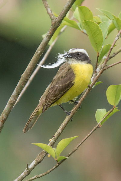 Here's one of the Social Flycatchers bringing a feather to line the nest.