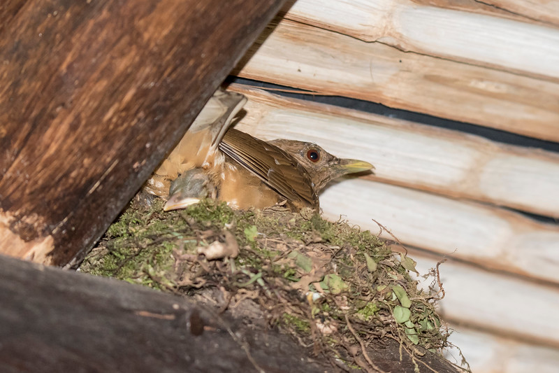 At the Rainforest Lodge in Sarapiquis, this Clay-colored Thrush had a nest under the roof right outside our room.  The Clay-colored Thrush is about the same size as our American Robin and it is the national bird of Costa Rica.  Notice the bill and head of one of the babies sticking out from under the adult.