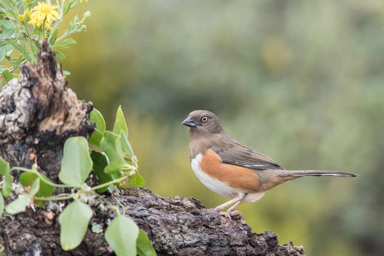 A female Eastern Towhee landed on the log, rather than on the stump.  As in one of the pictures from last week, this view gives a nice clean background behind the bird but still includes some of the flowers and vines.