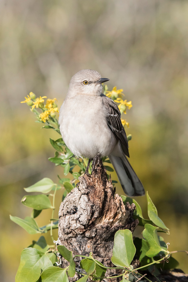 A Northern Mockingbird also landed on the stump.  Eventually, this bird was a problem because it became very territorial and chased all the other birds away.