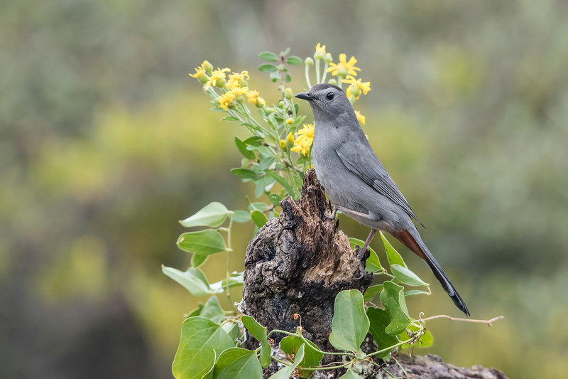 A Gray Catbird was the first one to show up.  True to its name, it is mostly gray, but notice its black cap and the rusty-colored feathers under its tail.