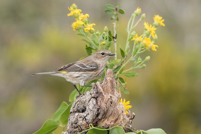 This flower arrangement was smaller than the one I showed last week so it's more appropriately sized for a Yellow-rumped Warbler.  You can see the yellow feathers that give this bird its name.