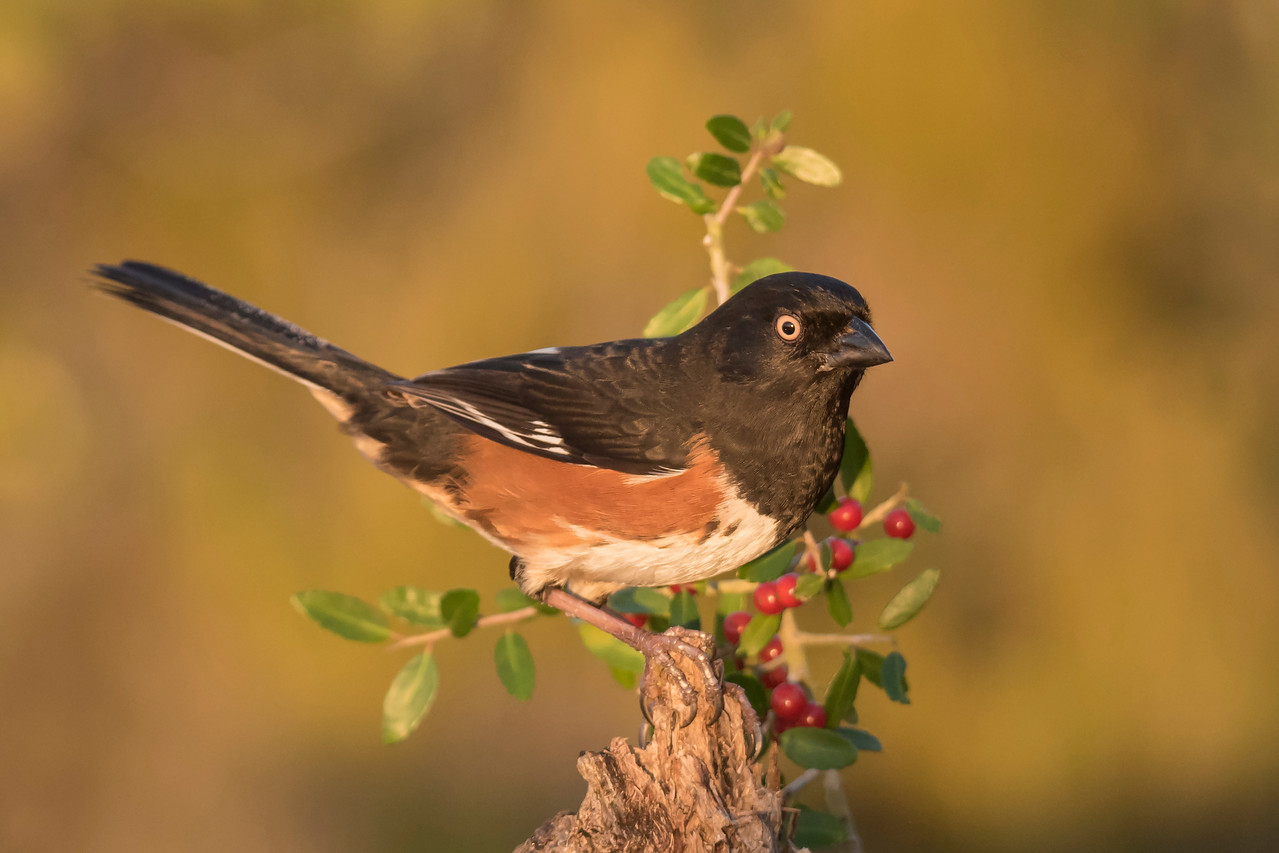 When the sun is just coming up over the horizon, it gives a golden glow to the background.  I covered myself with a camouflage sheet so that even this normally shy male Eastern Towhee wasn't bothered by my presence.