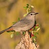 A Gray Catbird landed on the smaller of the perches.  The red berries added a nice touch of color, even if they did clash with the bird's rusty colored undertail feathers.