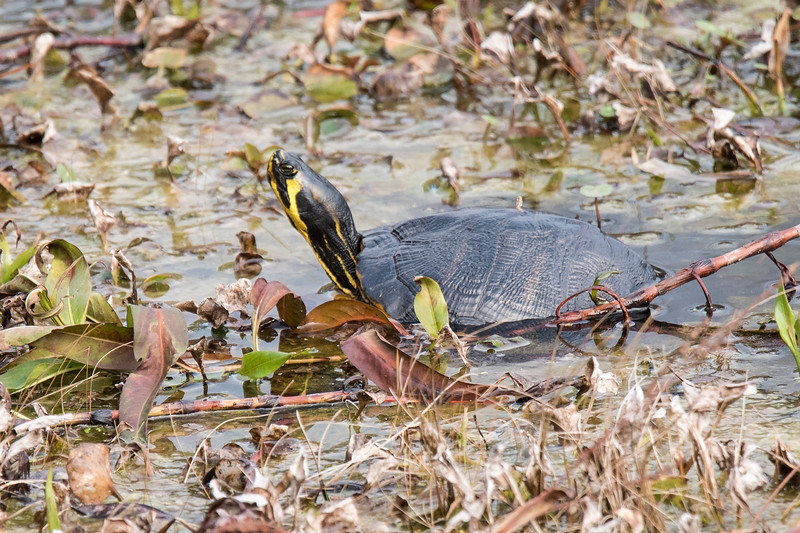 On a later trip to St. Marks with Diana, I photographed this Florida Red-bellied Turtle.