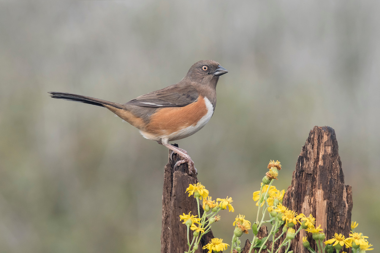 Some, like this female Eastern Towhee, chose to land on top of the wood piece.  I like this pose because it still includes some of the flowers but has a nice, clean background behind the bird.