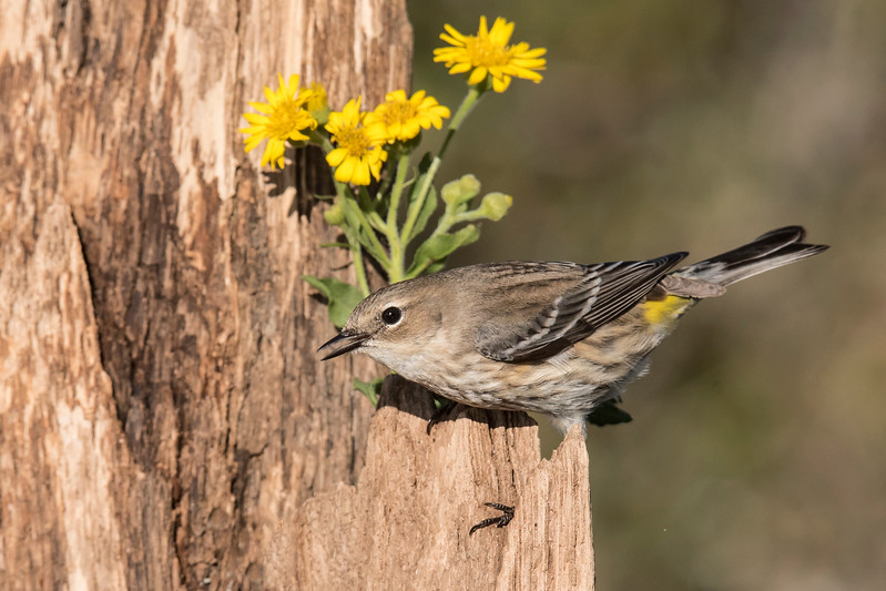 Warblers aren't usually attracted to feeders but, when I used some of the homemade suet I got from Native Nurseries, this Yellow-rumped Warbler became one of the most frequent visitors.