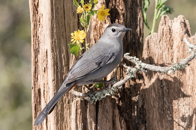 I had some regular bird feeders out, so birds were already visiting our deck.  A Gray Catbird was one of the first birds, however, to use my new setup and it even landed on the perch I provided.