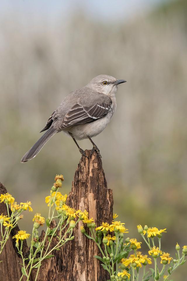 A Northern Mockingbird became a regular visitor.