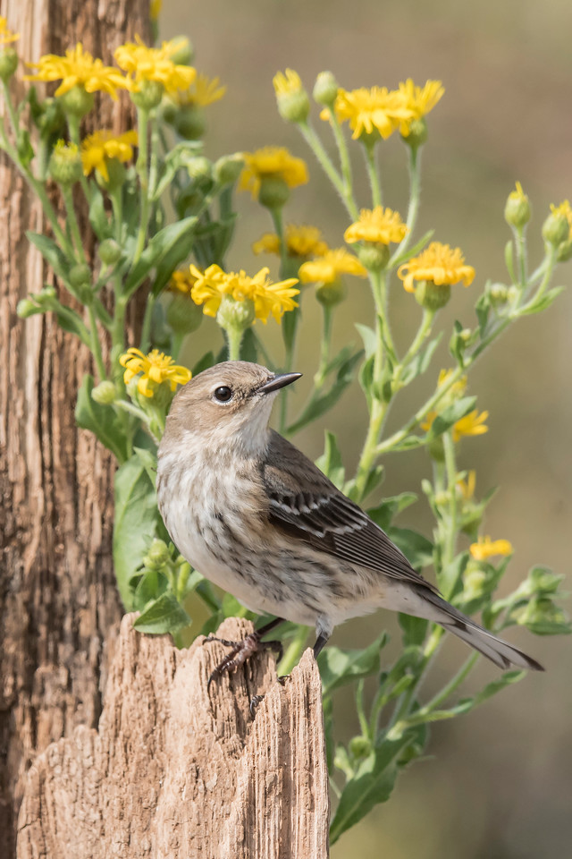 Because the Yellow-rumped Warbler is such a small bird and its winter plumage is dull, I think the flowers in this photo are actually a distraction.  A larger bird, like a Mockingbird, or a very bright bird, like a male Cardinal, would probably have looked great here.