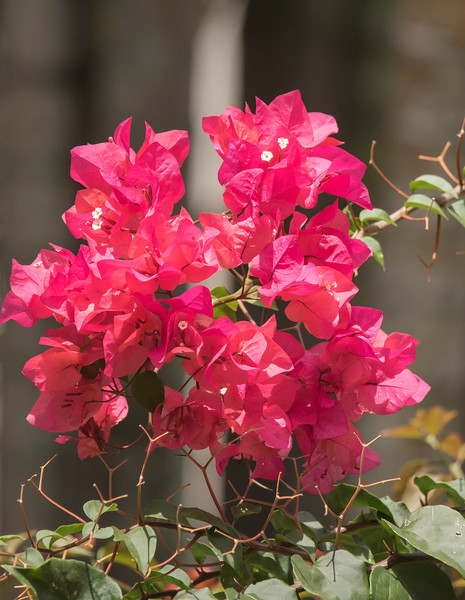 We saw Bougainvillea growing in many places.  This photo was taken at the Wyndham Hotel in San Jose.