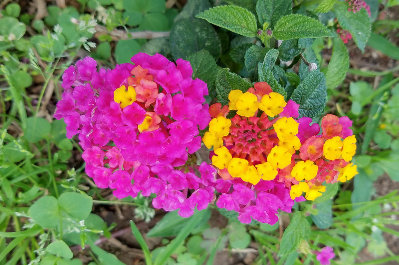 Everywhere we went in Costa Rica, we saw colorful flowers blooming.  These are from a Lantana bush in Parque Morazán located in San Jose.