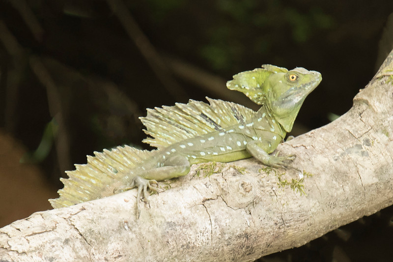 Here's a closer look at a Basilisk Lizard.  These photos were taken while on a Sarapiqui River cruise.