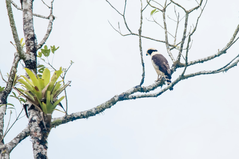 One of our guides saw this Laughing Falcon as we were traveling in the La Fortuna area.  It typically perches in a tree looking for snakes, its main food item.  The dark mask is a distinctive field mark.  It has a loud call and often calls back and forth with another falcon.  This duet speeds up until it sounds like crazed laughing, hence the name of the bird.