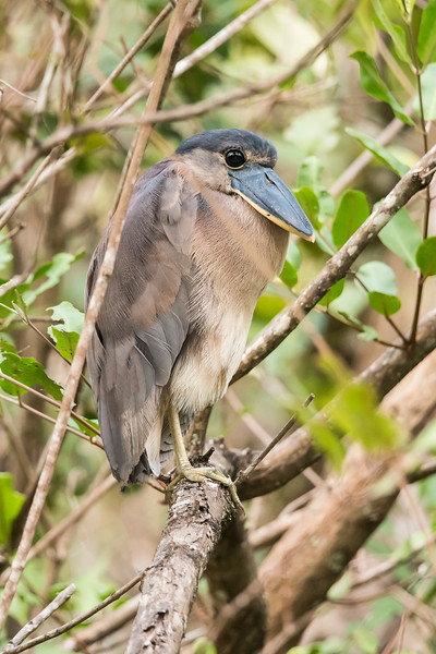 The Boat-billed Heron is in the same family as our Black and Yellow-crowned Night-Herons.  The massive bill, however, sets it apart.  It roosts during the day in vegetation along a water source.  As you can see, it blends into the surroundings so well that only the sharp eyes of our guides allowed us a look at this interesting bird.  We saw it during a boat trip on the Tarcoles River.