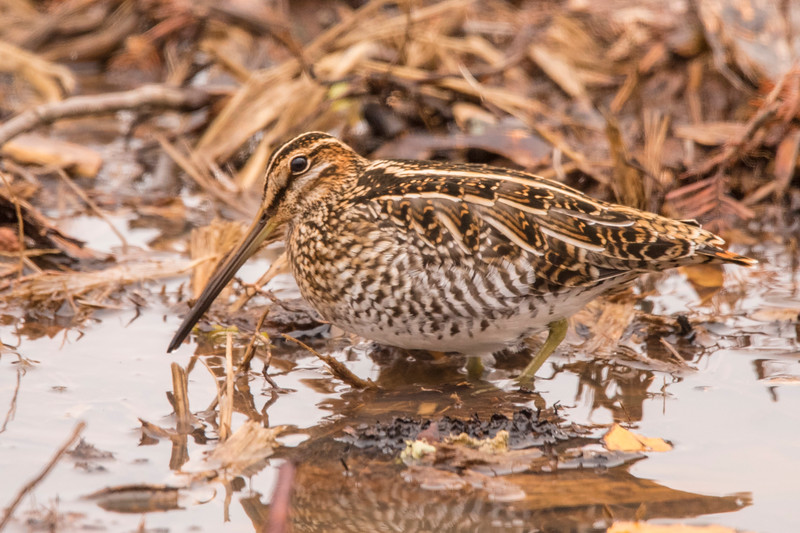 Usually found in wet, muddy places, the Wilson's Snipe uses its long bill to probe the mud looking for insects and worms.  You can see how its brown, streaky plumage would provide great camouflage for this bird.  A snipe is usually a solitary bird, but this one was seen with a dozen others in a wet spot along the road leading to our home.  It is about 10½ inches long.