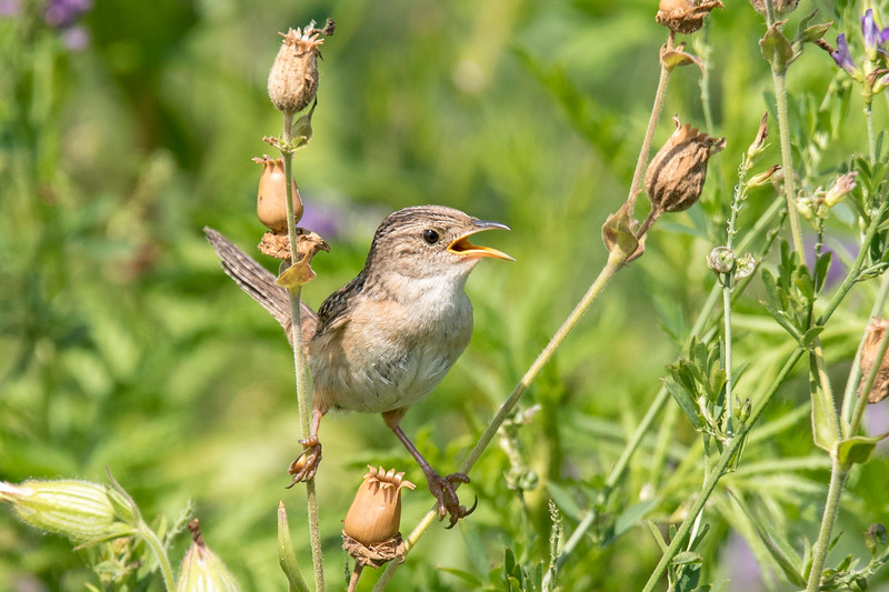This perky little Sedge Wren was singing in a field along County Road 10 in Itasca County, Minnesota.  It's a very small bird, only 4½ inches long.  It likes to stay hidden in the tall, damp, grassy fields where it builds a nest in the summer.