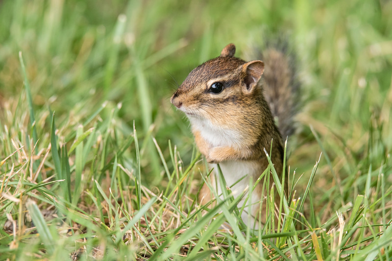 Chipmunks are always cute little mammals.  This one was in our yard in northern Minnesota.