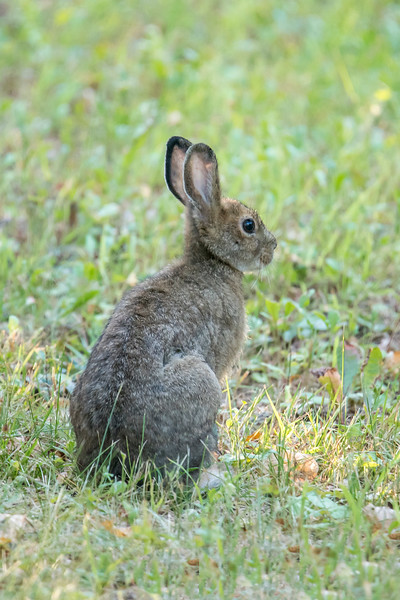 We do have Snowshoe Hares at our lake home, but they are rarely seen.  I think they are usually out at night but this one was in our yard during the day.  I hope I get to see one in its white winter coat.