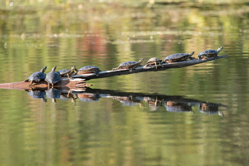 I know that I've shown you photos of Painted Turtles sunning themselves at our lake home before, but this one takes the cake!  Eight turtles on one log!