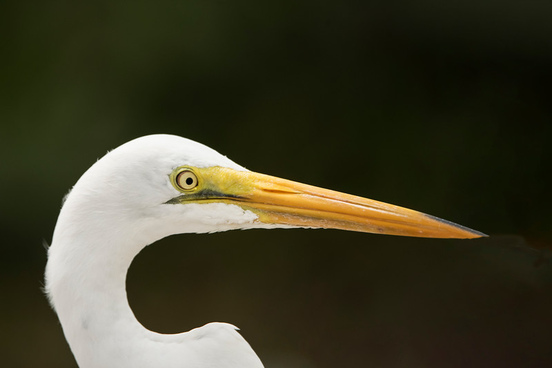 This Great Egret was hunting in the grass right beside the road, so I was able to get a close head portrait.