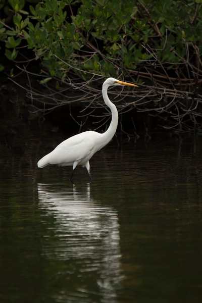 Here's a Great Egret with Mangroves in the background.