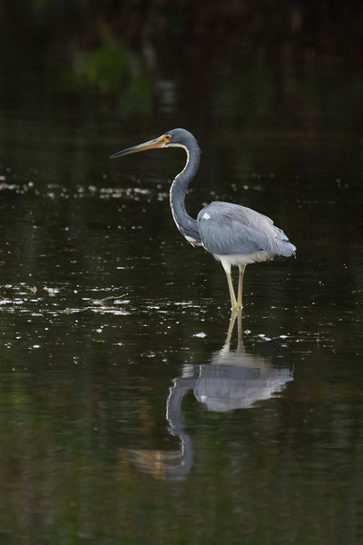 The white stripe on this Tri-colored Heron's neck makes a dramatic outline against the dark-colored water.