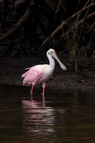 Here's an adult Roseate Spoonbill.  The bare skin on top of the head indicates it is an adult.