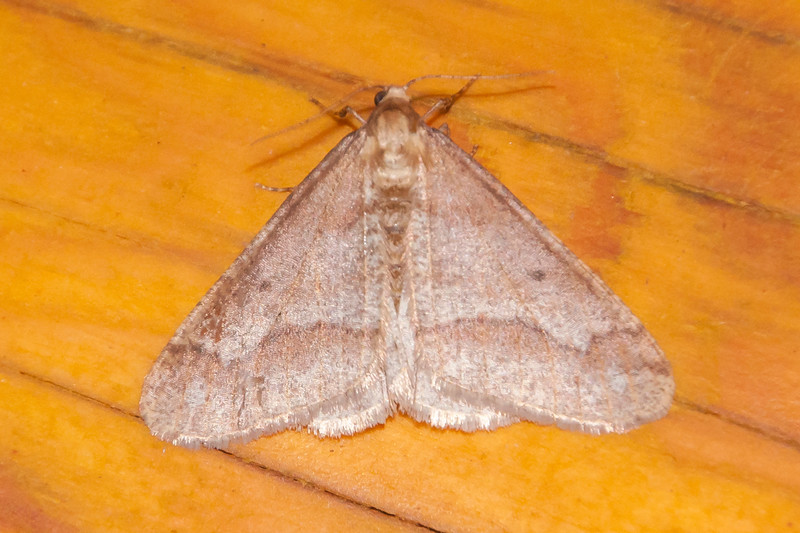 The end of October is pretty late to be looking for moths in Minnesota.  But we had a few unseasonably warm nights, so I turned on the porch light at our lake home just to see if any moths would appear.  I was surprised to find about a half dozen Linden Looper moths near the light.  I looked them up on BugGuide.net and found that they are late season moths with most of them seen in October and November.