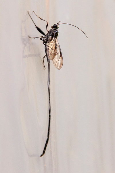 Here's a view of the Pelecinid Wasp from the side.  Males are smaller but according to BugGuide.net, they are seldom seen.  This species is found from the eastern half of North America all the way to Argentina.