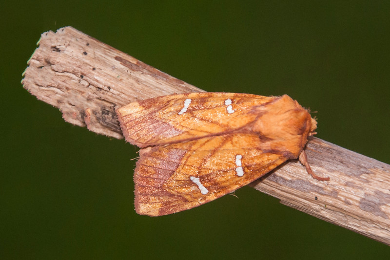 This orange moth with white spots on its wings is an Osmunda Borer.  It's about an inch long and feeds on flowering ferns.  In Minnesota, it is found along a narrow band across the middle of the state.