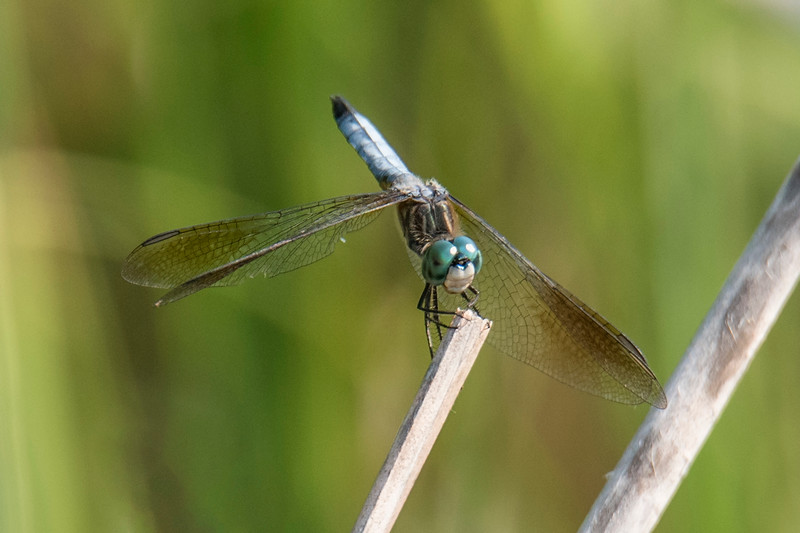 The Blue Dasher dragonfly has a powdery blue abdomen, white face, and big green eyes.  It picks a favorite perch near a pond or stream and flies out from that perch to catch insects.