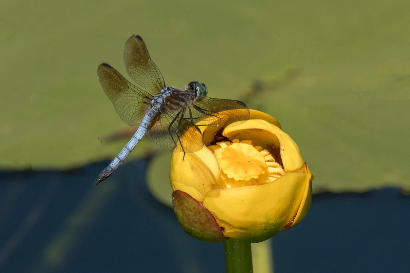 Here's a Blue Dasher perching on a Yellow Water Lily.  In this photo, you can see the amber patch at the end of each wing.