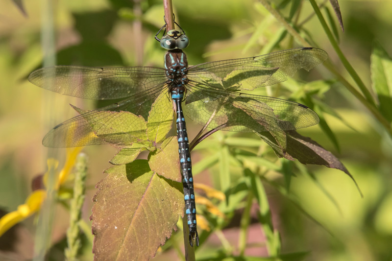 At just over 3 inches long, the Lake Darner is one of our largest dragonflies.  It can be seen in the north woods from the middle of June to the end of September.