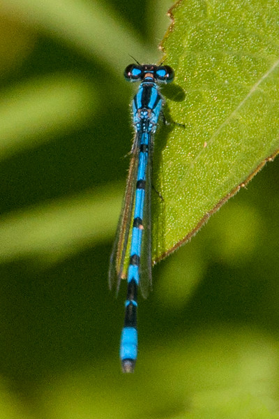 Summer has ended here in Minnesota, but I still have a few summer photos to share with you. All of them were taken at our home in northern Minnesota. This is a Hagen's Bluet damselfly.  Like all damselflies, it is quite small, only about 1¼ inches long.  Hagen's Bluet is one of the most abundant damselflies seen in the north woods.