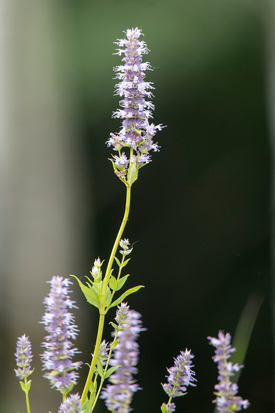 I took this photo at Long Lake Regional Park in New Brighton, MN.  One of the horticulture staff members at Three Rivers Park District identified it as Anise Hyssop.  It's an herb that is used in tea and cold remedies.  The leaves have a mint and licorice fragrance.