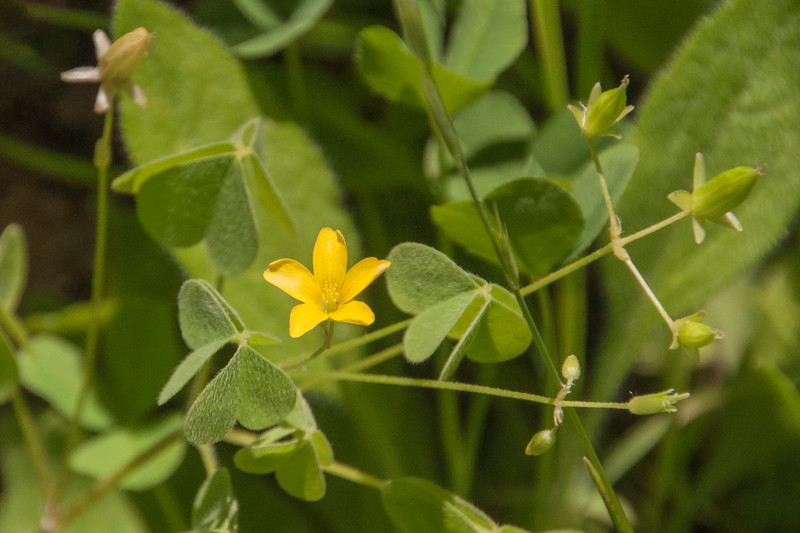 We also have Yellow Woodsorrel growing in our wildflower garden.  The yellow flowers are cute, but I also like the leaves which have three heart-shaped leaflets joined at one point.  Wikipedia says the leaflets close up at night.  It also says that if the mature seed pods are disturbed, they can burst open and shoot seeds up to 13 feet away.