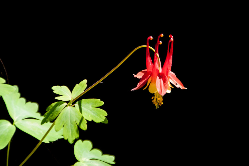 Here are some flowers I photographed this summer.  This Columbine was growing in the flower bed next to our home in northern Minnesota.  The past couple of years, our resident Woodchuck ate these plants before they got a chance to bloom.  This year we didn't have a Woodchuck, so the Columbine was able to produce some beautiful blossoms.