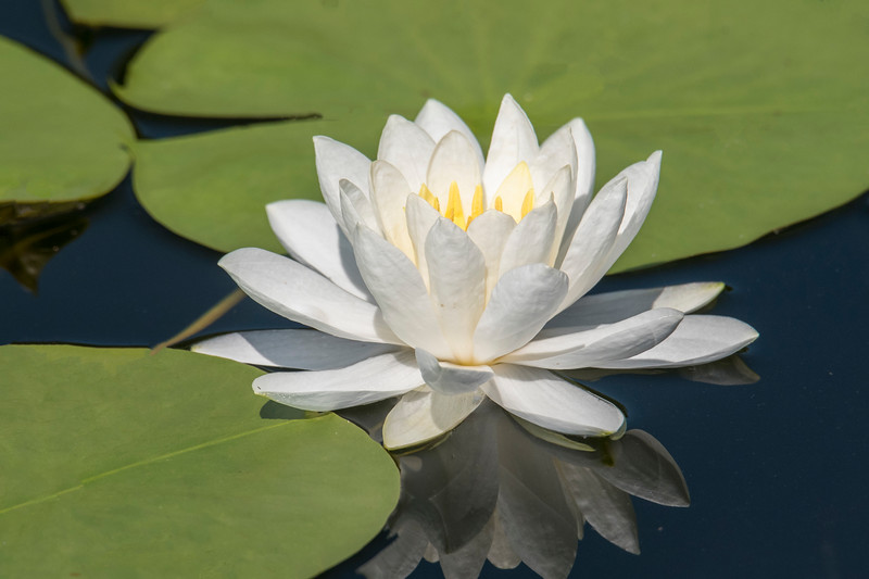 Our lake has both Yellow and White Water Lilies growing in it.  This was a particularly nice looking white one.