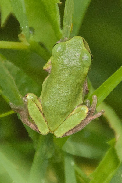 I took only a few reptile photos this summer; all of them were taken at our lake home in northern Minnesota.  This is a Gray Treefrog.  I know, it's green, not gray.  They can change from gray to green, allowing them to blend in with their environment.