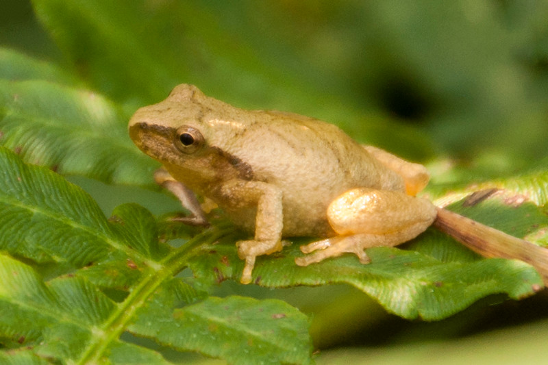 We also have Spring Peepers at our home.  They are only ¾ to 1 inch long.  They have a brown X on their backs and you can see it pretty well in this photo.  They also have a brown stripe running from the nose, through the eye, and back behind the front leg.