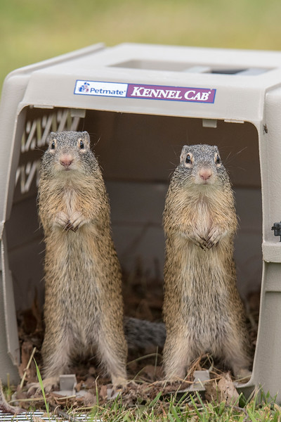 This is a cute picture showing two of the squirrels standing in the entrance to a carrier.