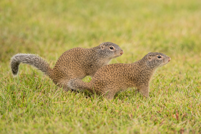 Franklin's Ground Squirrels have an 8 to 10-inch body and a 5 to 6-inch tail.  They are smaller than Gray Squirrels (9 to 10-inch body, 8 to 9-inch tail) but larger than Red Squirrels (7 to 9-inch body, 4 to 7-inch tail).  Also notice the rusty brown body, gray head and tail, large white eye ring, and tiny ears.