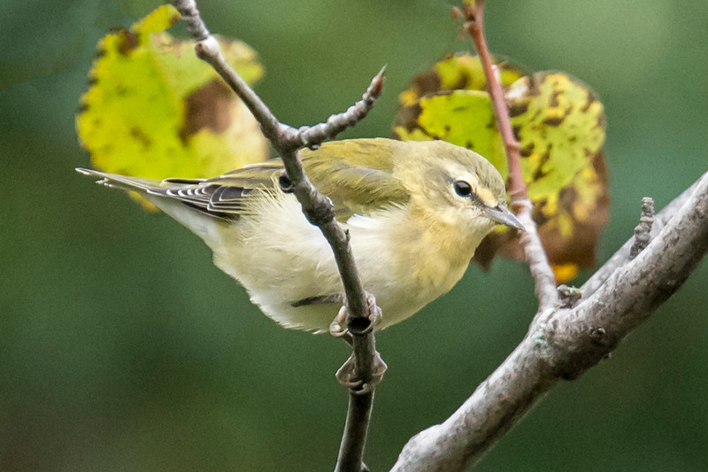 Tennessee Warblers are another plain looking species.  Like the Orange-crowned, they have a dark line through the eye but there is also a light stripe above the eye.  They have a light-colored belly and white feathers under the tail.  I saw this bird on Sawtooth Road in Cook County.